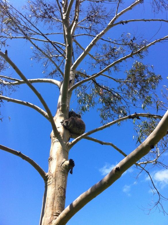 Koala Snooze